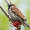 House Sparrow ~ Male