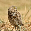 Burrowing Owl ~ Adult