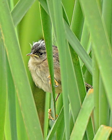 Marsh Wren ~ Fledgling