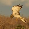 Northern Harrier ~ Male Juvenile