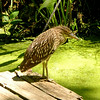 Black-crowned Night Heron ~ Juvenile