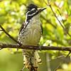 Nuttall's Woodpecker ~ Female