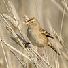White-crowned Sparrow ~ Juvenile
