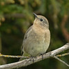 Mountain Bluebird ~ Female