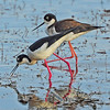 Black-necked Stilt ~ Male & Female