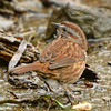 "Song Sparrow ""Morphna"""
