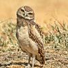 Burrowing Owl ~ Juvenile
