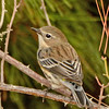 Yellow-rumped Warbler Fall Plumage ~ Female