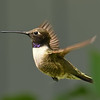 Black-chinned Hummingbird ~ Male