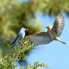 Mountain Bluebirds ~ Male and Female