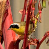 Common Yellowthroat ~ Male