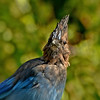 Steller's Jay ~ Juvenile