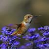 Allen's Hummingbird ~ Female