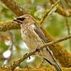 Cedar Waxwing ~ Juvenile