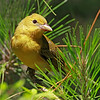 Female Scarlet Tanager - May 2012
