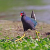 Purple Gallinule - May 2012