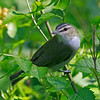 Red Eyed Vireo - May 2012