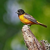Baltimore Oriole - May 2012