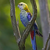 Pale-headed Rosella - April 2015 - Grand Bay, AL