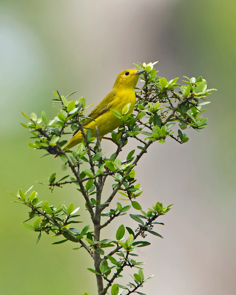 Yellow Warbler - April 2015