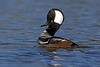 Hooded Merganser - Dauphin Island