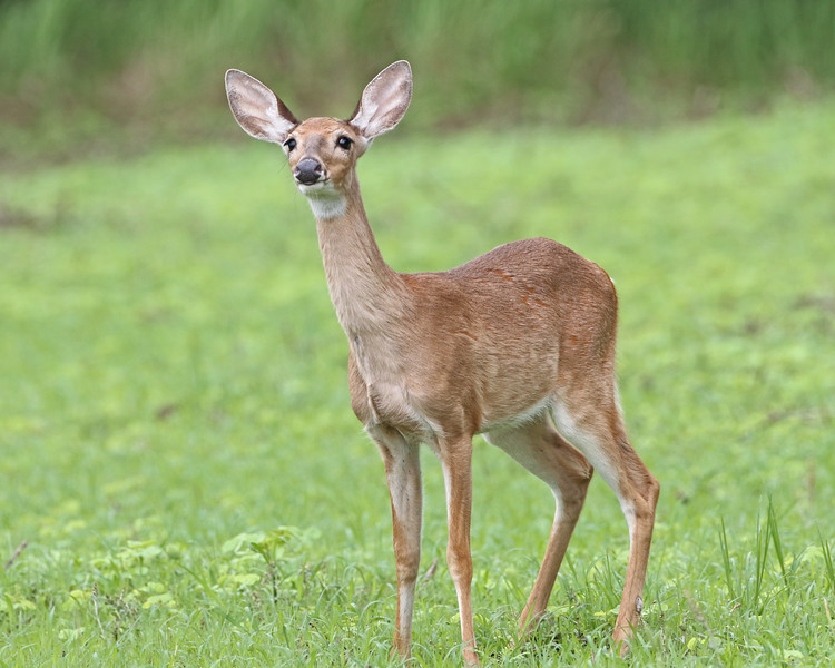 White-tailed Deer .