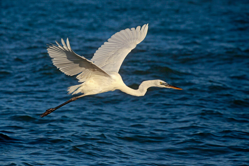 Great Blue Heron - White Morph