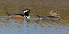 Hooded Mergansers - Dauphin Island