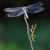Mantis and Dragonfly