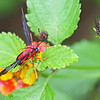 Scarlet-bodied Wasp Moth