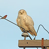 Snowy Owl and Purple Finch