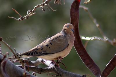 sleeping dove