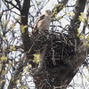 2011-04 Cooper's Hawk Nest :     Cooper's Hawk Nest • 3rd tree from bottom of hill on left   Muro Lane, Bridgeton, Mo.     My Daily Birding Journal     Jump to >>  Dec 2010 • Jan 2011 • Feb • Mar • Apr May • Jun • Jul • Aug • Sept •  Oct •  Nov •  Dec •  Jan 2012       Click on main photo below for larger version
