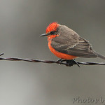 2012-01-11 Vermilion Flycatcher :     Vermilion Flycatcher in Perry County  Pending MBRC acceptance as 8th state record and 1st winter record       Jump to >>  Dec 2011 • Jan 2012 • Feb • Mar • Apr May • Jun • Jul • Aug • Sept •  Oct •  Nov •  Dec •  Jan 2013       Click on main photo below for larger version