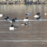 2012-01-24 CBCA RMBS :     Riverlands Migratory Bird Sanctuary • Columbia Bottom Conservation Area   I spotted the Long-tailed Duck 750 yards out in Ellis Bay down stream from Ellis Island  earlier in the day. I was checking the birds up in Ellis Bay just before sunset and re-found   it directly across from Two Pecan Trail parking lot only 450 yards out.       Jump to >>  Dec 2011 • Jan 2012 • Feb • Mar • Apr May • Jun • Jul • Aug • Sept •  Oct •  Nov •  Dec •  Jan 2013       Click on main photo below for larger version
