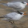 Royal Tern Juv