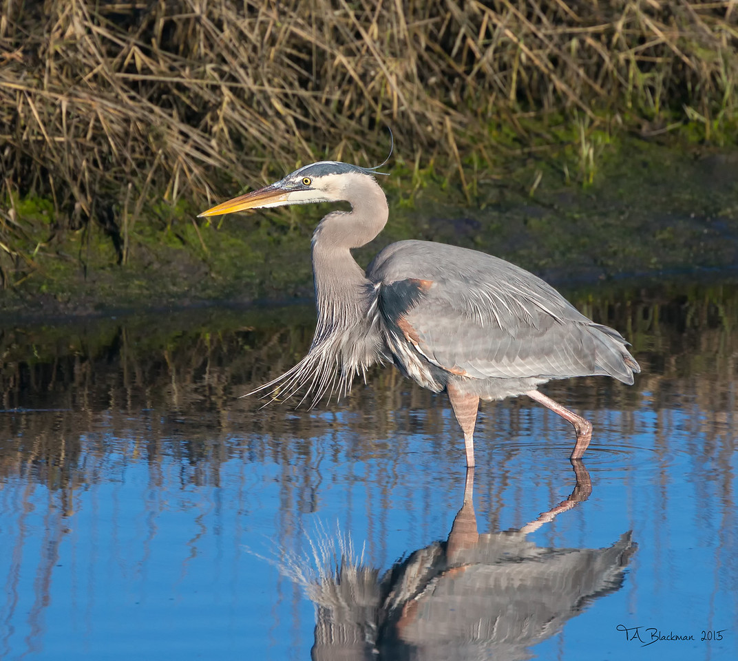 Heron_Great Blue TAB151DX-04704-Edit