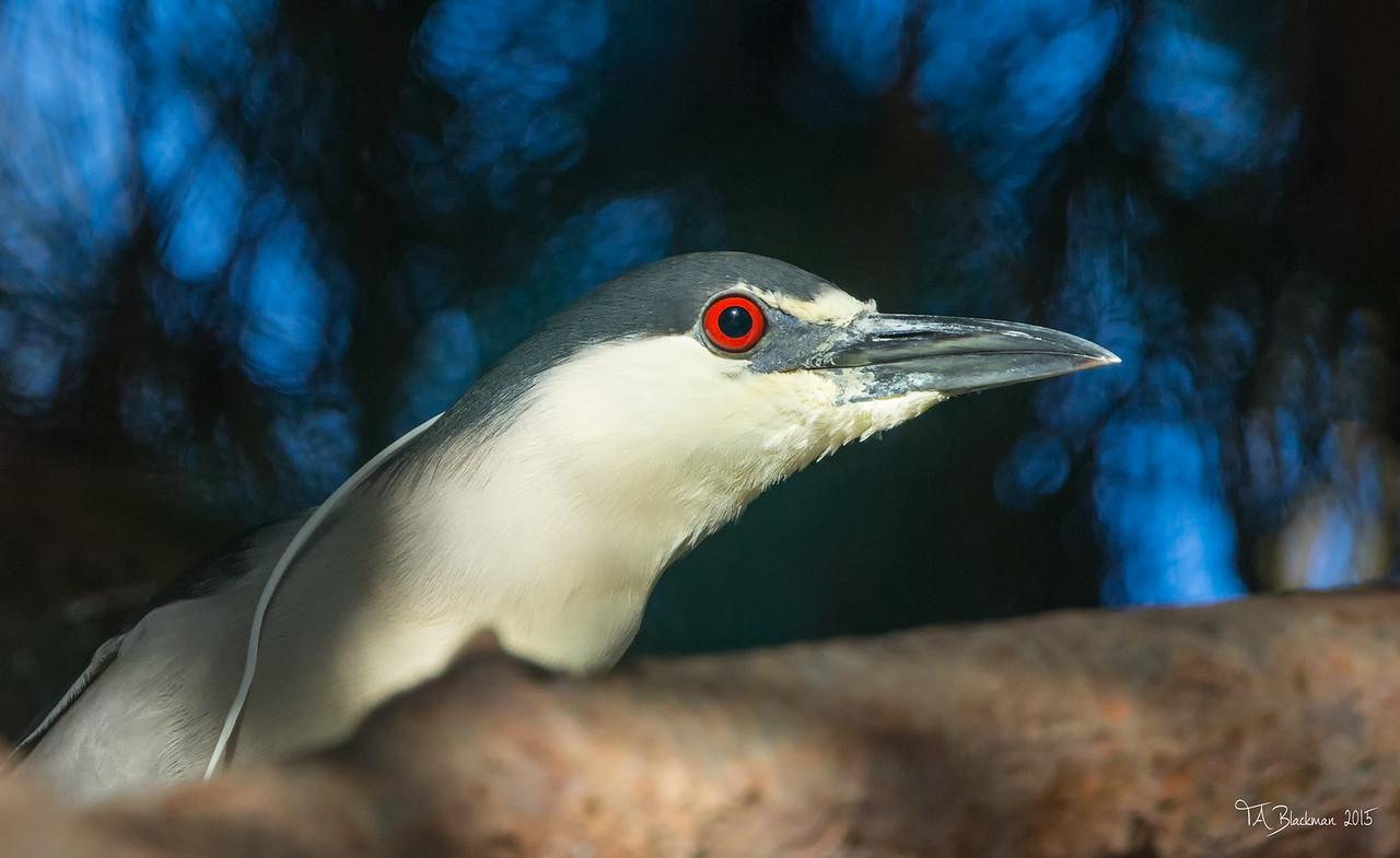 Black -crowned Night Heron