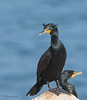 Cormorant_Double-crested TAB151DX-02956-Edit