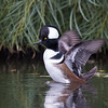 Hooded Merganser