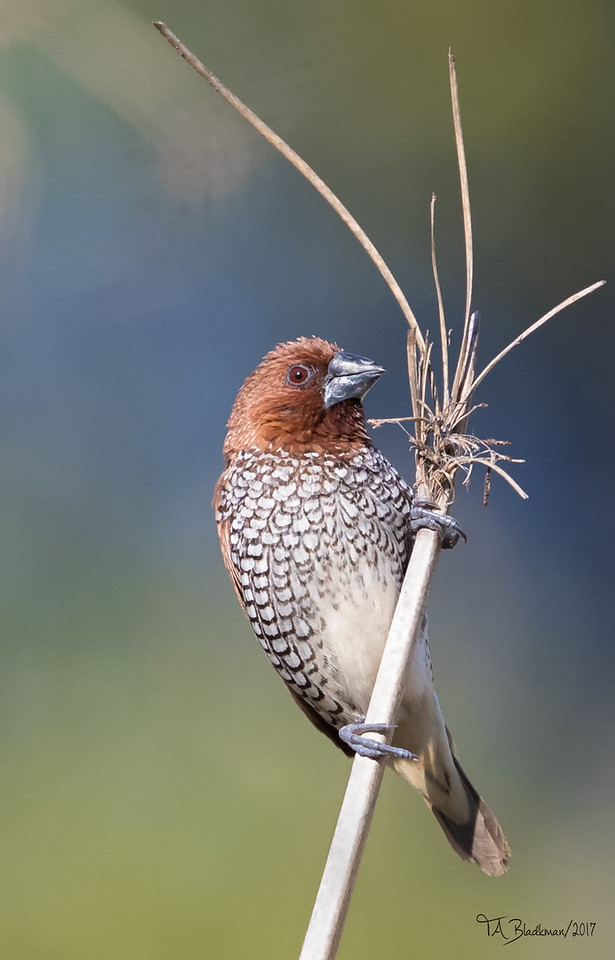 Scaley-breasted Munia