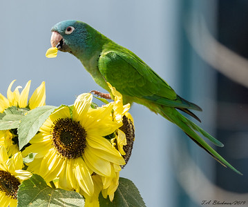 Blue-crowned Parakeet