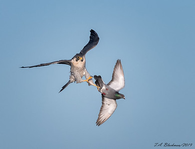 Peregrine and Gull