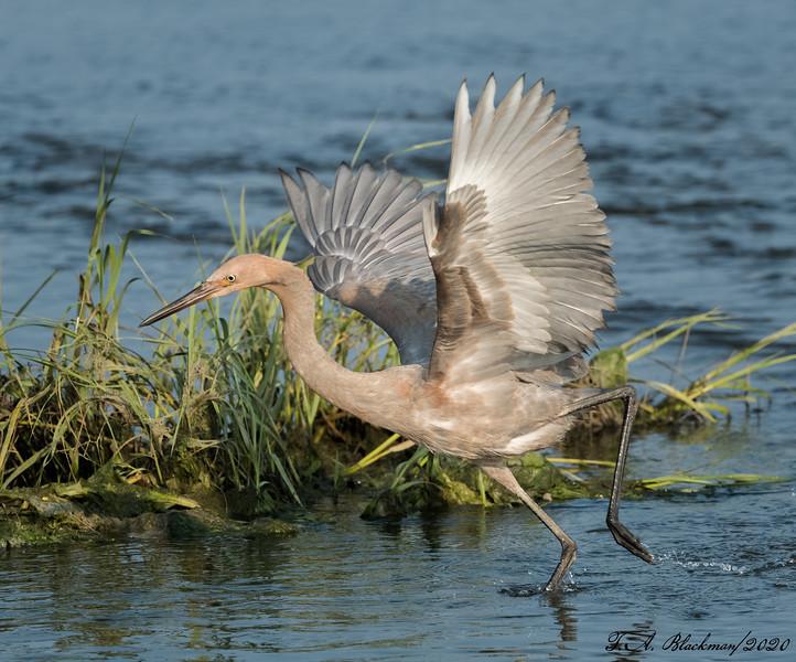 Reddish Egret imm