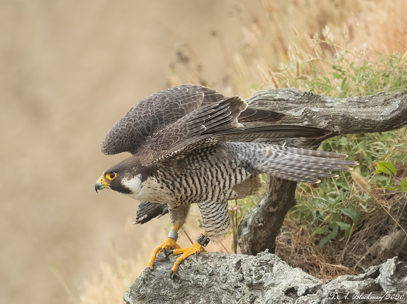 Pergrine Falcon