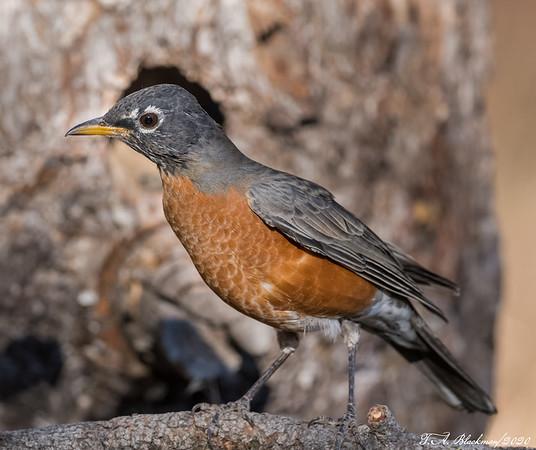 Americasn Robin