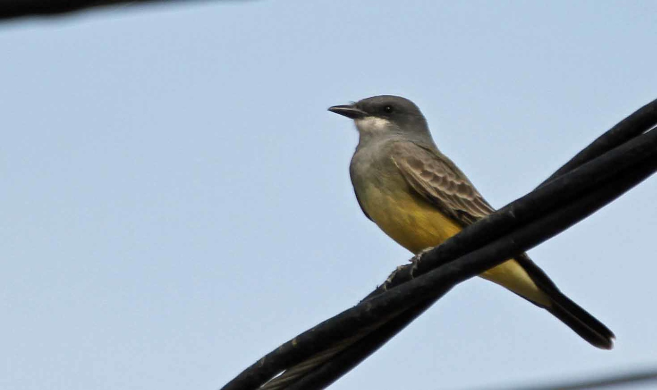 Cassin's Kingbird - Ballard Canyon Road, Santa Ynez Valley