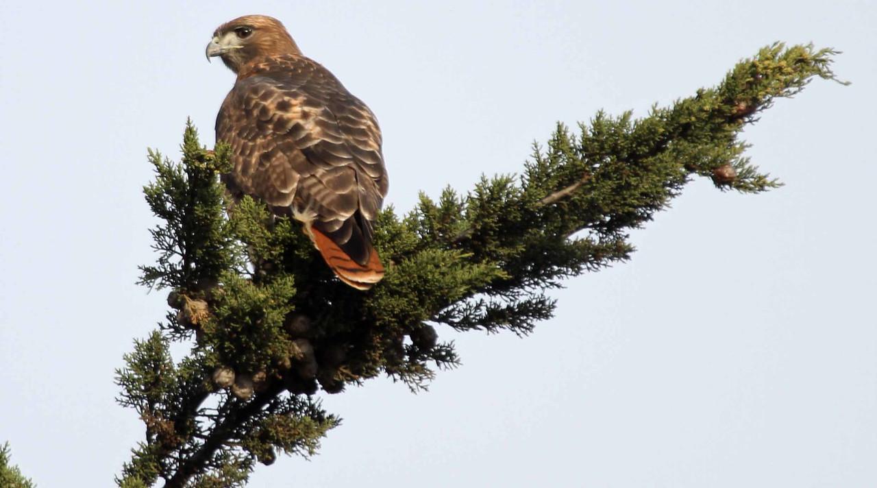 Red-tailed Hawk - Lake Los Carneros, Goleta