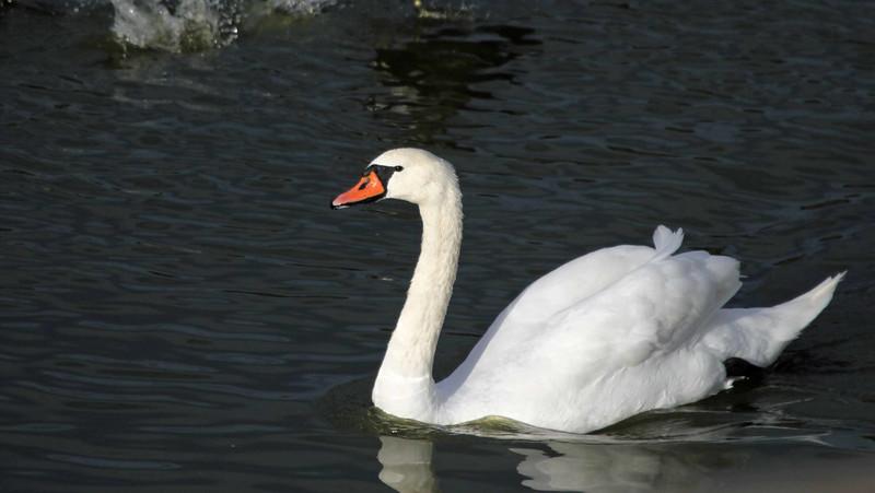 Mute Swan - Lake Los Carneros, Goleta
