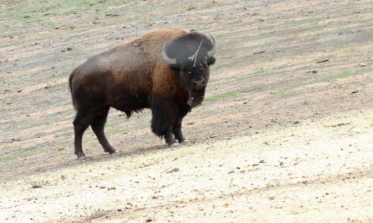 Bison - Ballard Canyon Road, Santa Ynez Valley